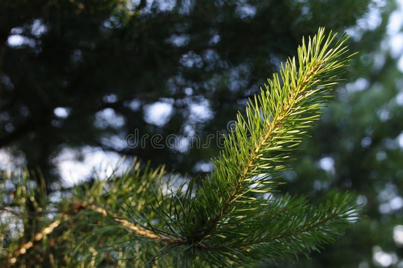 Foto del primo piano del pino verde dell'ago sul lato destro dell'immagine Piccole pigne all'estremit? dei rami Pino vago immagine stock