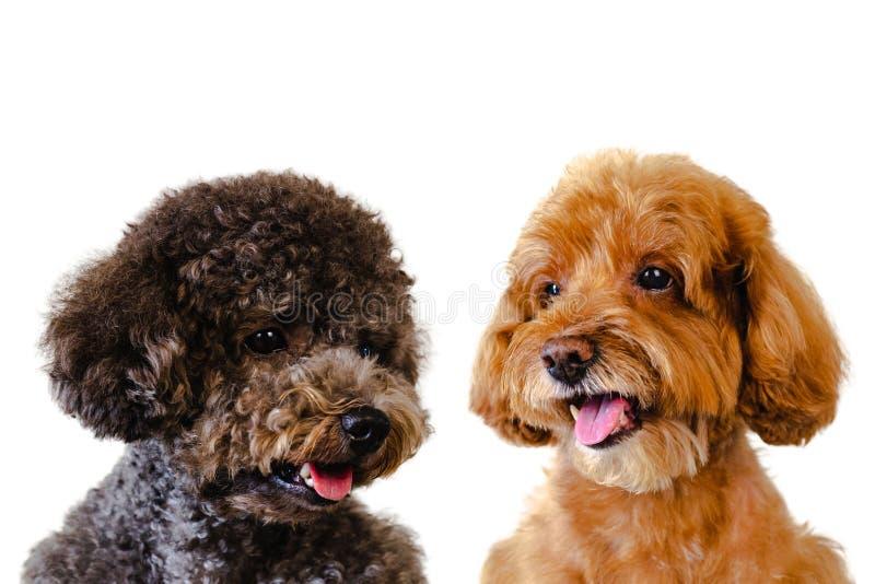 Foto del retrato del marrón sonriente adorable y perros de caniche negros de juguete en el fondo blanco foto de archivo