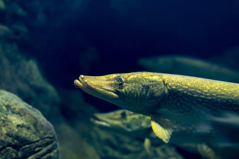 Foto del ritratto del primo piano del pesce del luccio, fondo scuro immagine stock