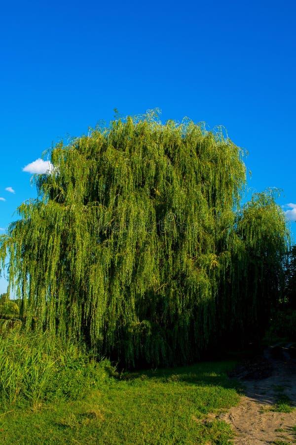 Foto del sauce cerca del lago azul hermoso con el camino fotografía de archivo