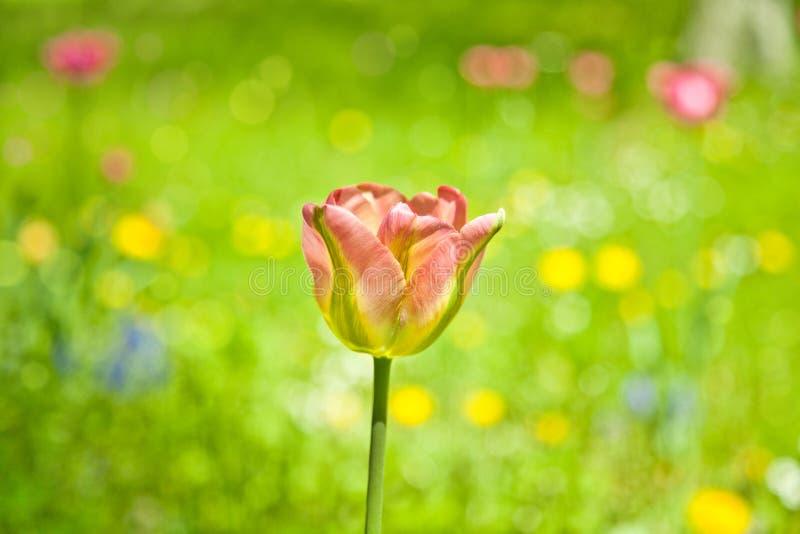 Foto del tulipano fotografie stock
