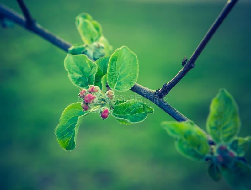 Foto del vintage de la floración del manzano foto de archivo libre de regalías