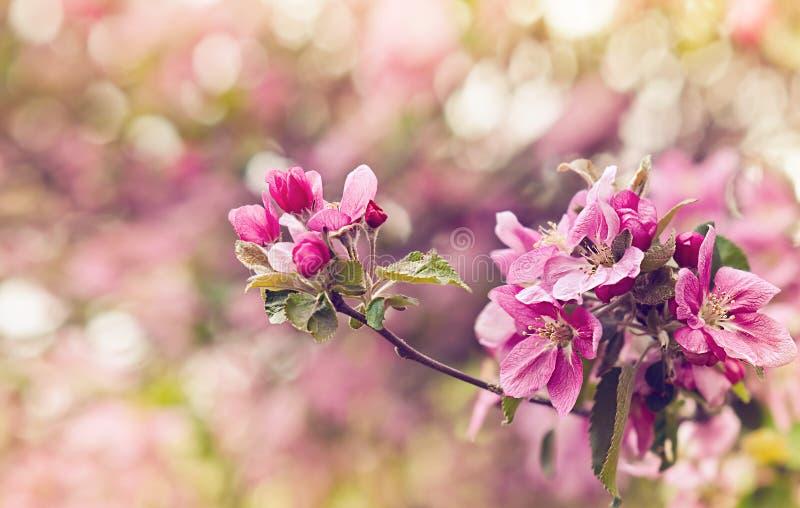 Foto del vintage de las flores rosadas del manzano Profundidad del campo baja foto de archivo libre de regalías