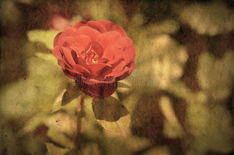 Foto del vintage de una flor de la rosa imágenes de archivo libres de regalías