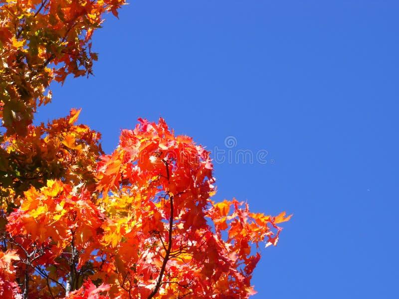 Foto dell'arancia rossa gialla dell'acero dell'albero delle foglie di acero contro un cielo blu le foglie sono individuate sotto  fotografia stock libera da diritti