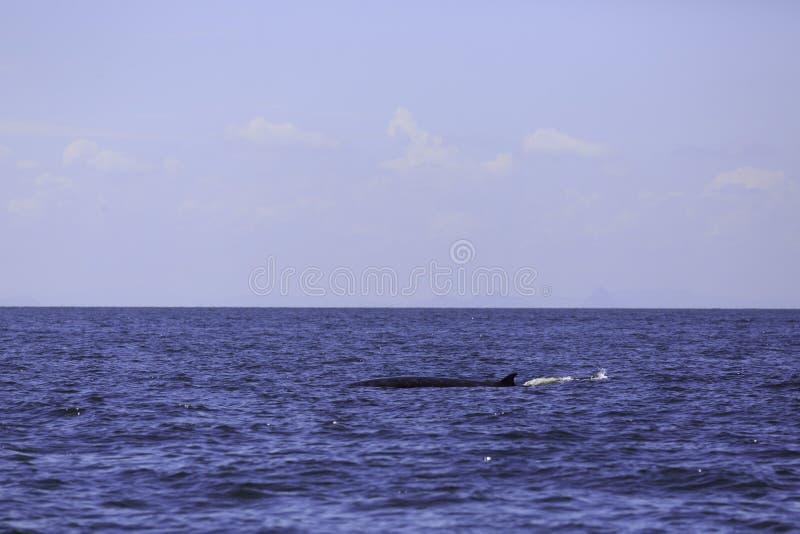 Foto della balena della balena del ` s di Bryde o del ` s dell'Eden in golfo tailandese, Phetchaburi, Tailandia immagini stock libere da diritti
