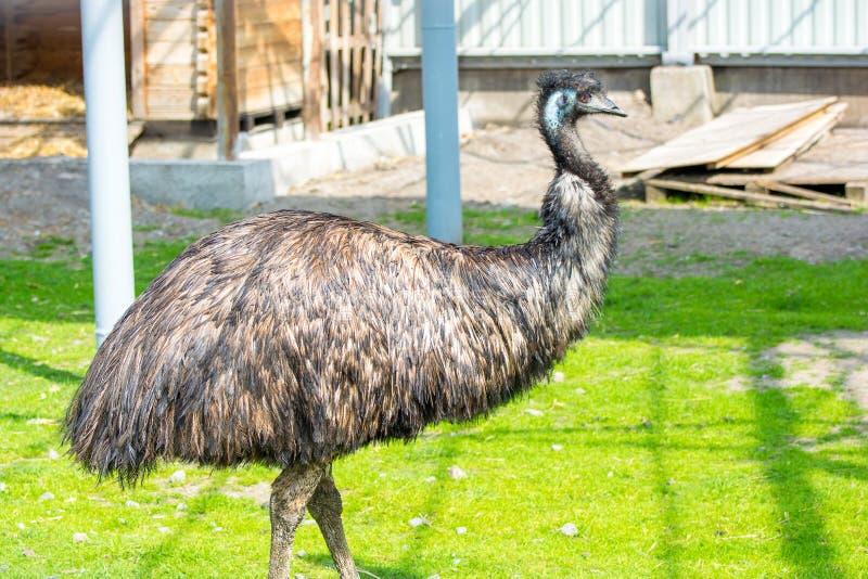 Foto della condizione dell'uccello dello struzzo dell'emù nel giardino dell'erba immagine stock