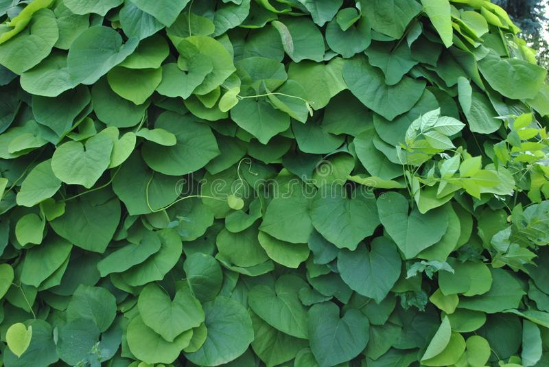 Foto della parete delle foglie verdi fotografia stock