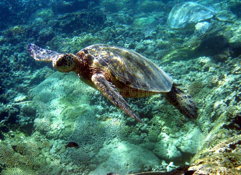 Foto della tartaruga di mare verde fotografia stock libera da diritti