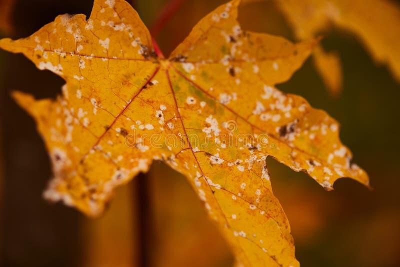 Foto delle foglie di acero su un albero Autunno dorato Fondo rosso, giallo, arancio luminoso immagine stock libera da diritti