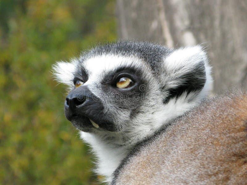 Foto delle lemure dallo zoo di Praga fotografia stock