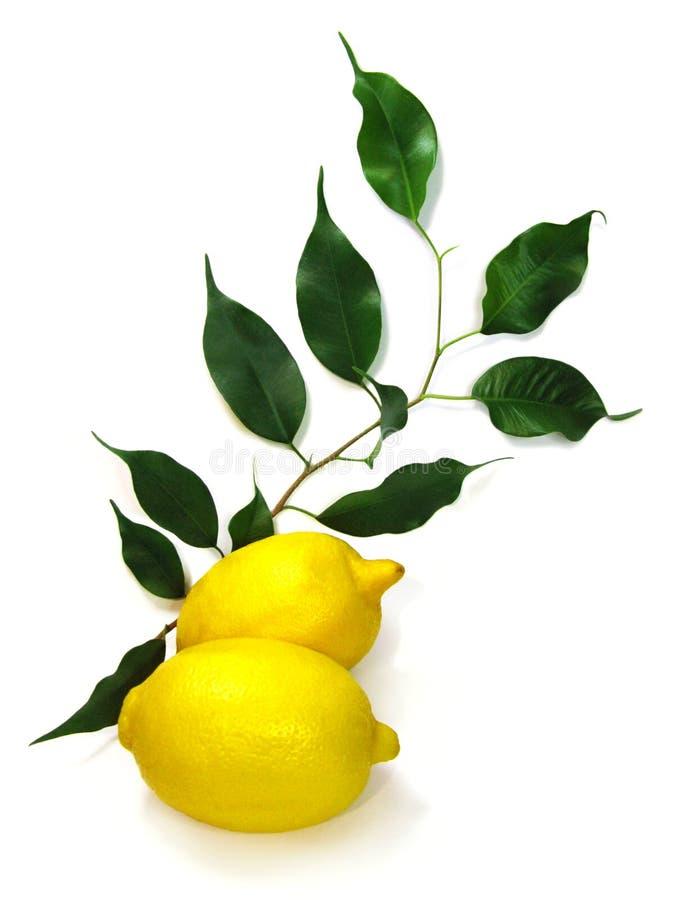 Foto der gelben ZitronenZitrusfrucht mit den Grünblättern lokalisiert auf weißem Hintergrund stockfotografie