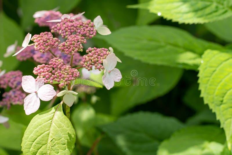 Foto der Hortensieblumen und -knospen im Abschluss oben lizenzfreie stockbilder