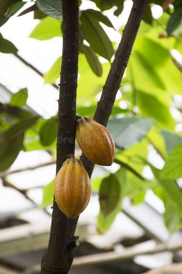 Foto der Kakaos trägt reif im Gewächshaus Früchte lizenzfreie stockfotos