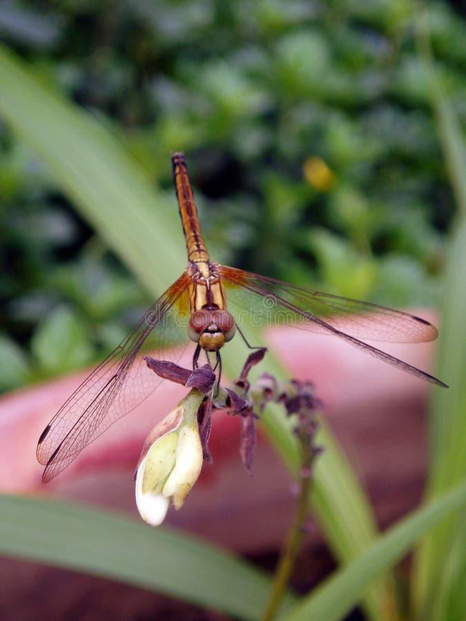 Foto der Libelle stockfotos