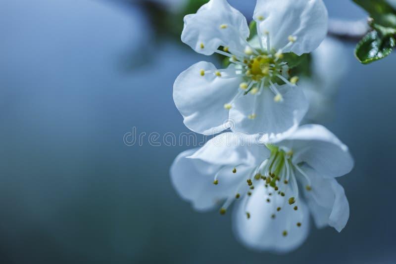 Foto des bl?henden Baumbrunchs mit wei?en Blumen auf bokeh Gr?nhintergrund stockfoto