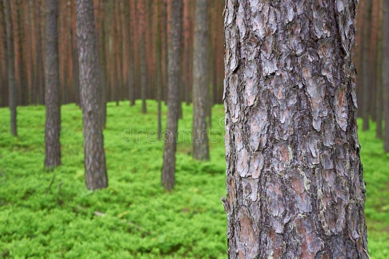 Foto des Kiefernstammes im Wald. lizenzfreie stockbilder
