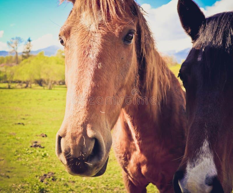 A foto descreve o cavalo dois branco marrom bonito bonito que olha na fotos de stock royalty free