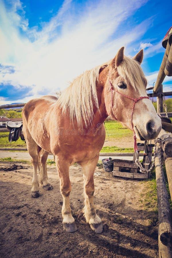 A foto descreve o cavalo marrom e branco bonito bonito que olha na fotografia de stock royalty free