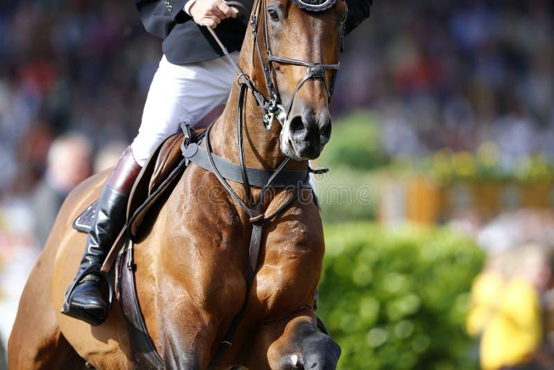 Foto detalhada de um cavalo marrom que aproxima o salto, disparando da parte dianteira foto de stock