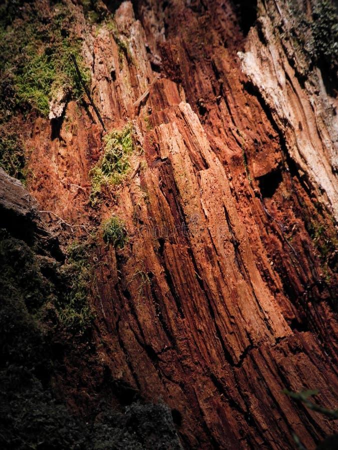 Foto detalhada do close-up da textura de madeira molhada Árvore vermelha quebrada na floresta com musgo verde fotografia de stock