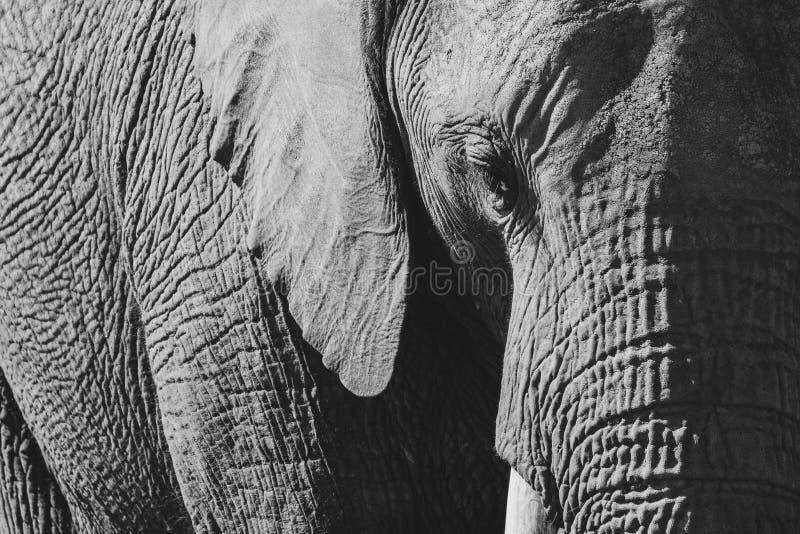Foto detallada de un elefante africano, fotografiada en monocromo en el parque del elefante de Knysna, Suráfrica imagen de archivo