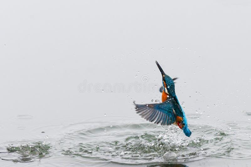 Foto di azione di un martin pescatore che esce dall'acqua fotografie stock
