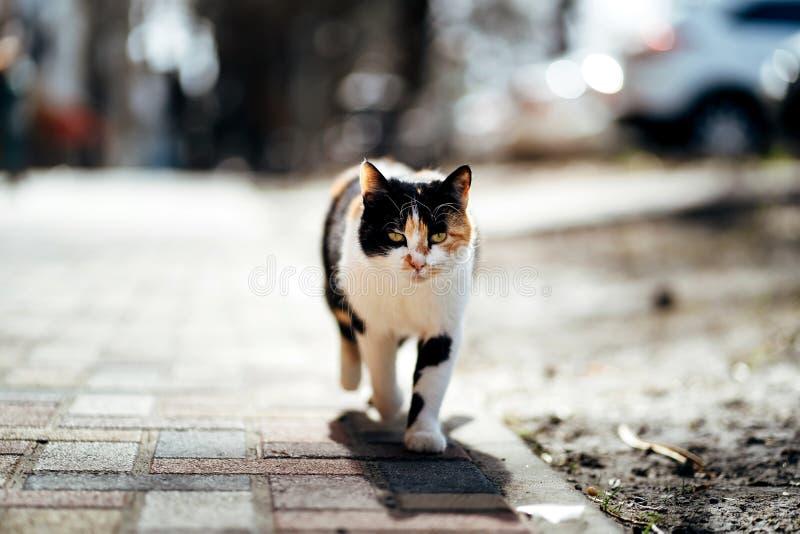 Foto di camminata del gatto senza tetto tricolore infelice affamato immagine stock