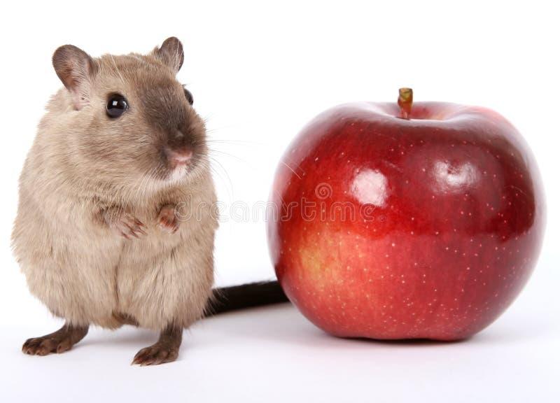 Foto di concetto di un roditore dalla mela rossa sana fotografie stock libere da diritti