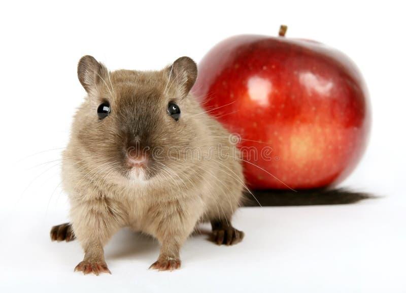 Foto di concetto di un roditore dalla mela rossa sana immagini stock