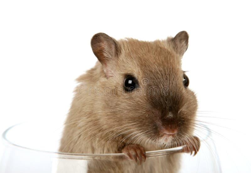 Foto di concetto di un roditore dell'animale domestico in un vetro di vino fotografia stock