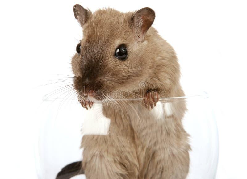 Foto di concetto di un roditore dell'animale domestico in un vetro di vino immagine stock