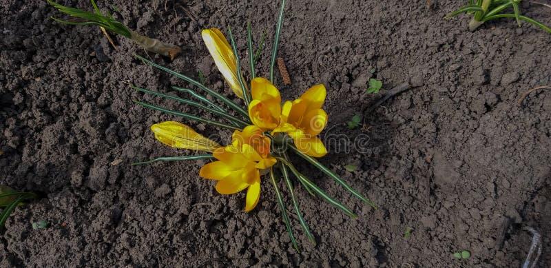 Foto di croco giallo fotografia stock