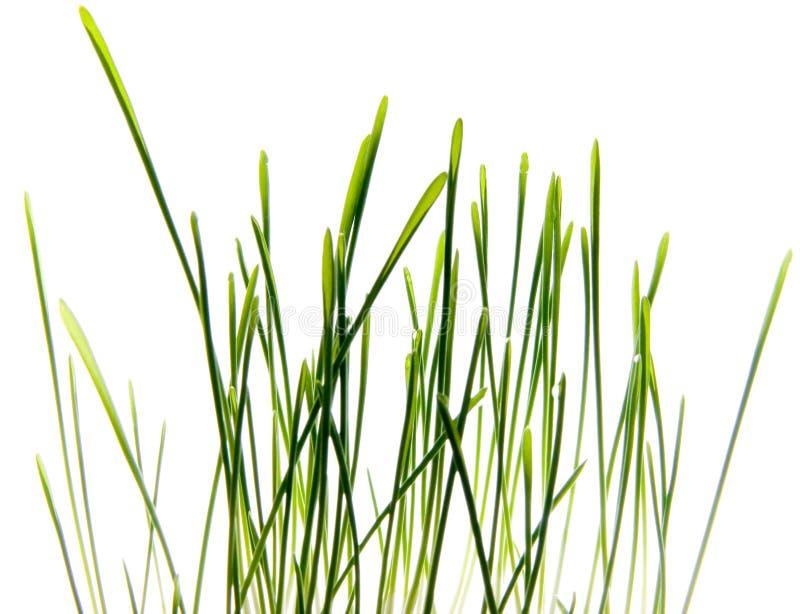 Foto di erba isolata fotografia stock