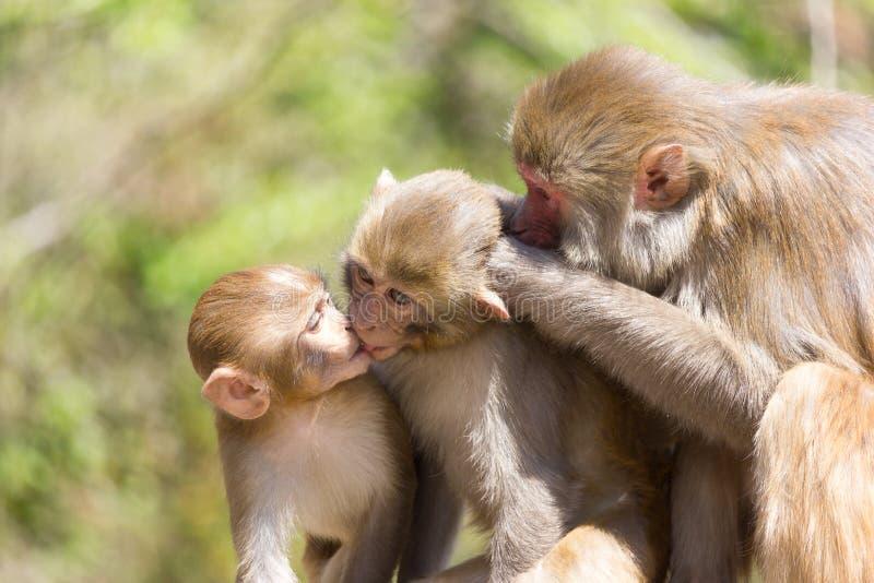 Foto di famiglia della scimmia fotografie stock