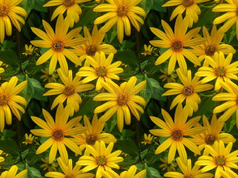 Foto di fiori di carciofo di Gerusalemme, fiori gialli con un calabrone sul nucleo di un fiore immagine stock libera da diritti