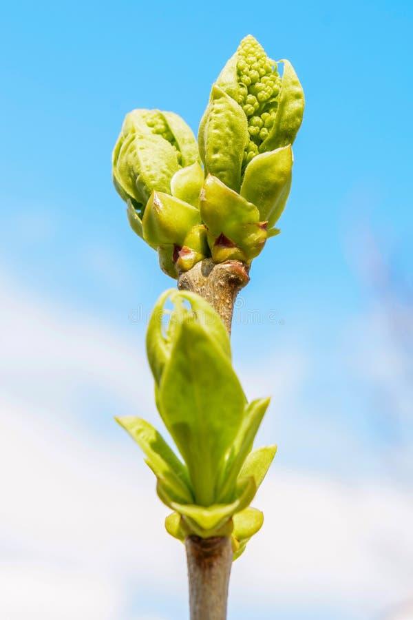 Foto di giovane ramo di albero su fondo scuro fotografia stock libera da diritti