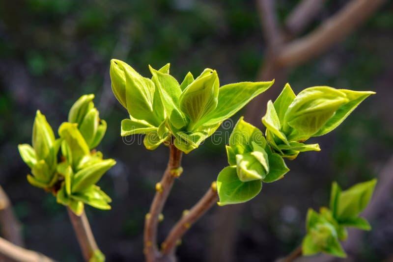 Foto di giovane ramo di albero su fondo scuro fotografie stock