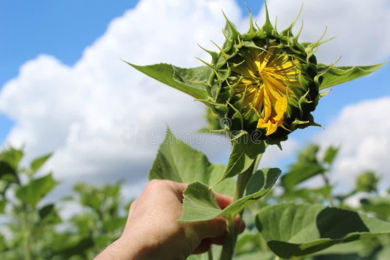 Foto di grande germoglio di un fiore del girasole nel campo contro il cielo Fiore a disposizione immagine stock