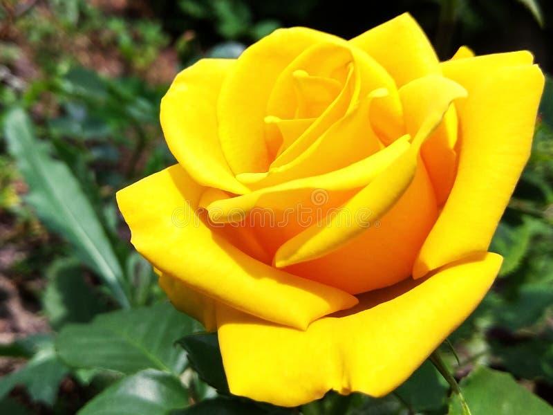 Foto di macro della rosa di giallo immagine stock