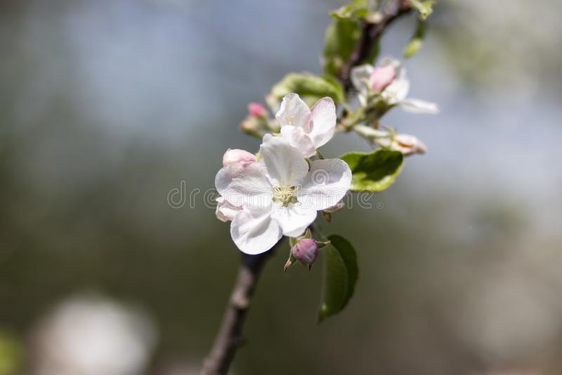 Foto di di melo di fioritura fotografie stock libere da diritti