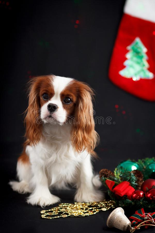 Foto di Natale dello spaniel di re charles sprezzante fotografie stock libere da diritti