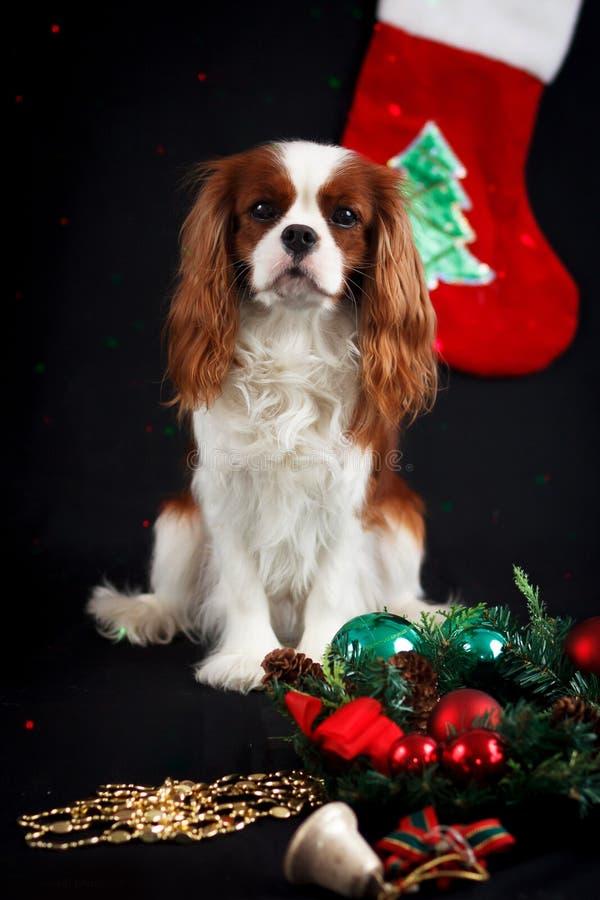 Foto di Natale dello spaniel di re charles sprezzante immagini stock libere da diritti