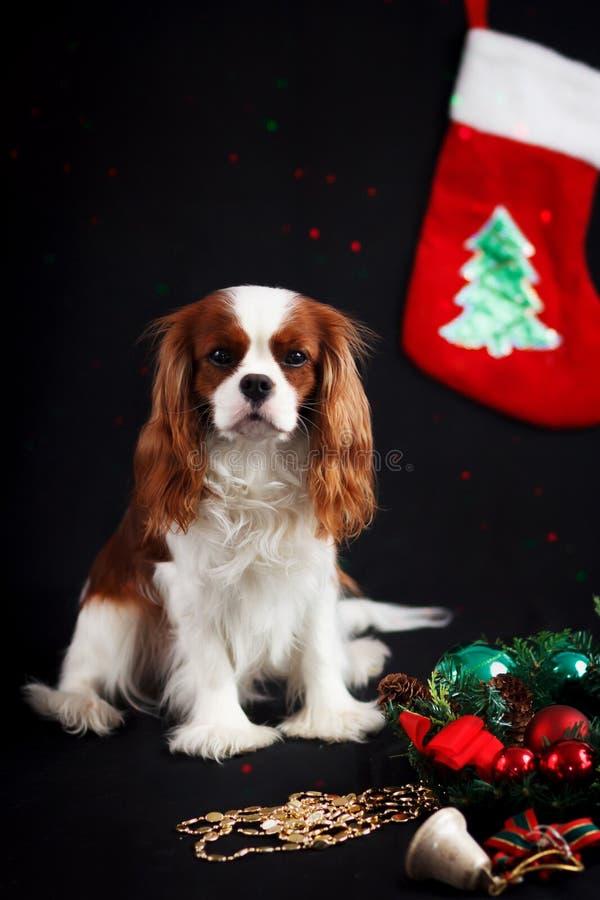 Foto di Natale dello spaniel di re charles sprezzante su fondo nero fotografie stock