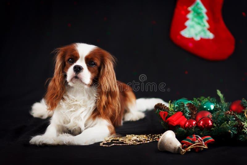 Foto di Natale dello spaniel di re charles sprezzante su fondo nero immagini stock libere da diritti