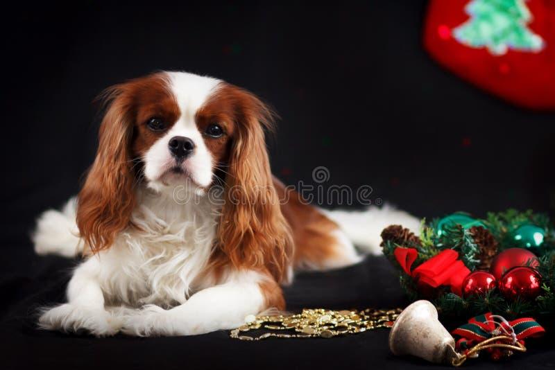 Foto di Natale dello spaniel di re charles sprezzante su fondo nero fotografia stock