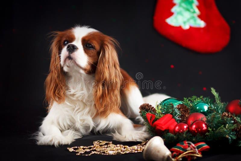 Foto di Natale dello spaniel di re charles sprezzante su fondo nero fotografia stock libera da diritti