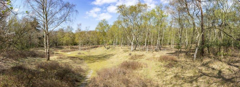Foto di panorama di un posto aperto con molti alberi di betulla nella foresta del giacinto nei colori di primavera nel parco Ocke fotografie stock