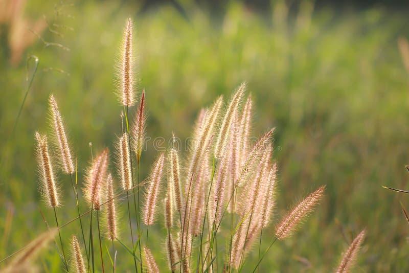 Foto di riserva - bella erba della rugiada con il ligh dei cali di mattina immagine stock