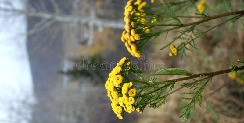 Foto di riserva del vulgare del Tanacetum del Tansy immagine stock libera da diritti